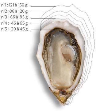 Calibre des huîtres